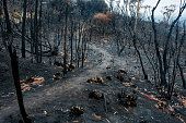 istock Australian bushfire aftermath: burnt eucalyptus trees suffered from a wildfire and black sole 1199425945
