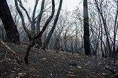 istock Australian bushfires aftermath: burnt eucalyptus trees damaged by the fire 1200499467