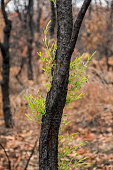 istock Australian bushfires aftermath: eucalyptus trees recovering after severe fire damage. Eucalyptus can survive and re-sprout from buds under their bark or from a lignotuber at the base of the tree. 1202642714