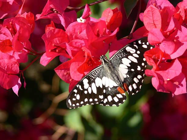 Australian Butterfly stock photo
