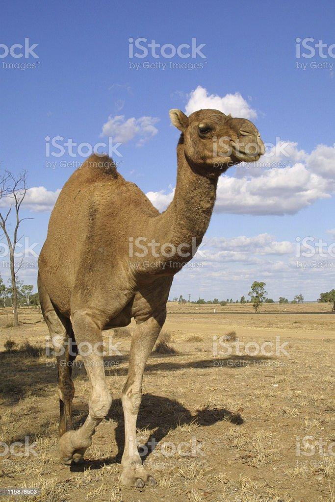 Australian Camel stock photo