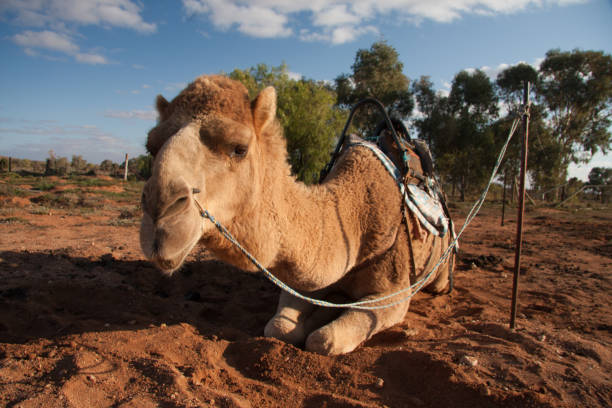 Australian Camels, Silverton, New South Wales stock photo