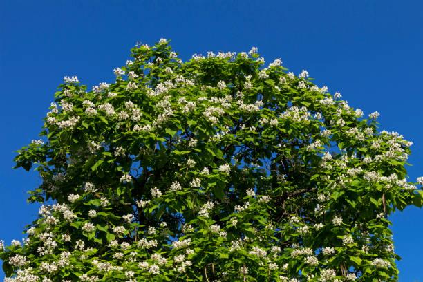 australische catalpa-baum auf den blauen himmel. - trompetenbaum stock-fotos und bilder