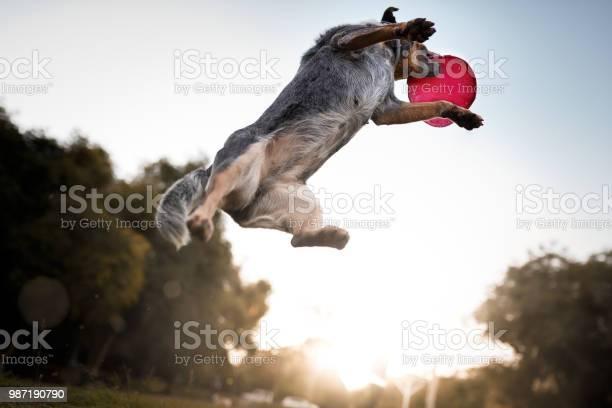Australian cattle dog catching frisbee disc picture id987190790?b=1&k=6&m=987190790&s=612x612&h=pfy6pr kzky4lwftpp lxqwuvcaktpla1hmlzow9cts=