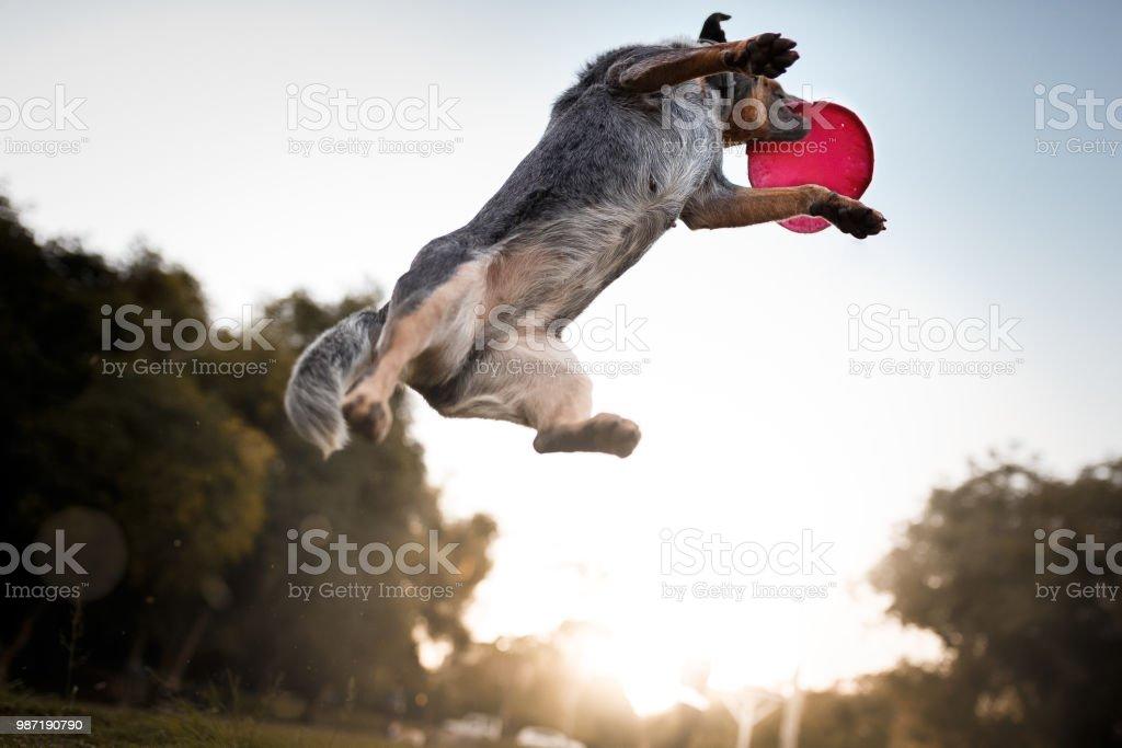 Australian cattle dog catching frisbee disc – zdjęcie