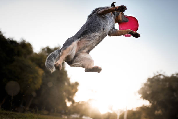 australian cattle dog catching frisbee disc - mammifero foto e immagini stock