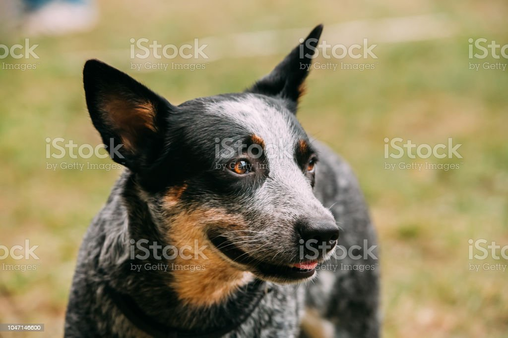 Australian Cattle Dog Close Up Portrait Outdoor. This Is Breed Of Herding Dog Originally Developed In Australia For Droving Cattle Over Long Distances Across Rough Terrain – zdjęcie