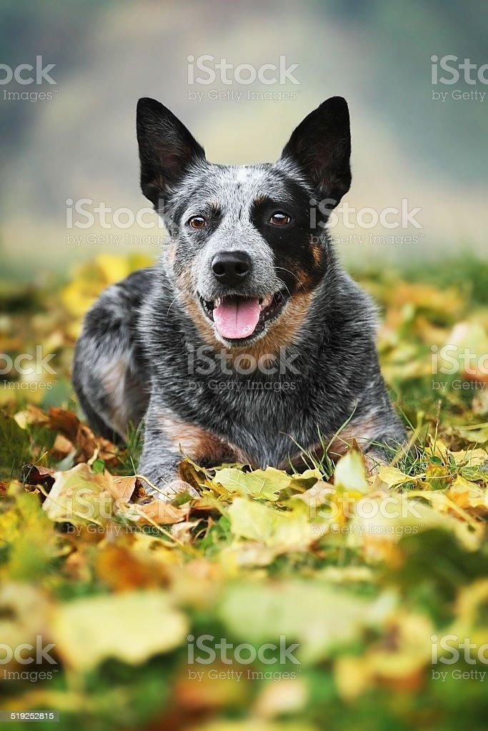 Australijski pies pasterski Pies Taniec Niegasnąca – zdjęcie