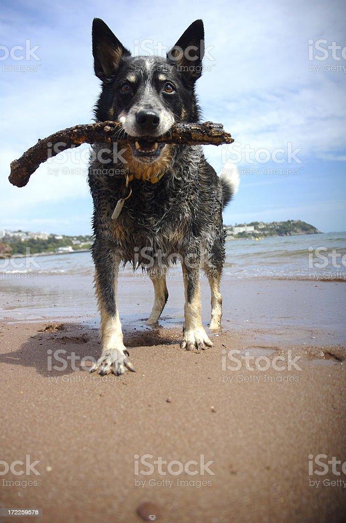 Australijski pies pasterski posiada do koktajli na plaży do pobrania – zdjęcie