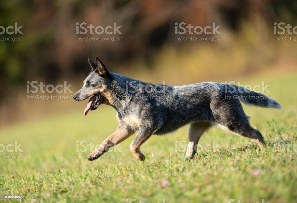 Australian Cattle Dog in Aktion – Foto