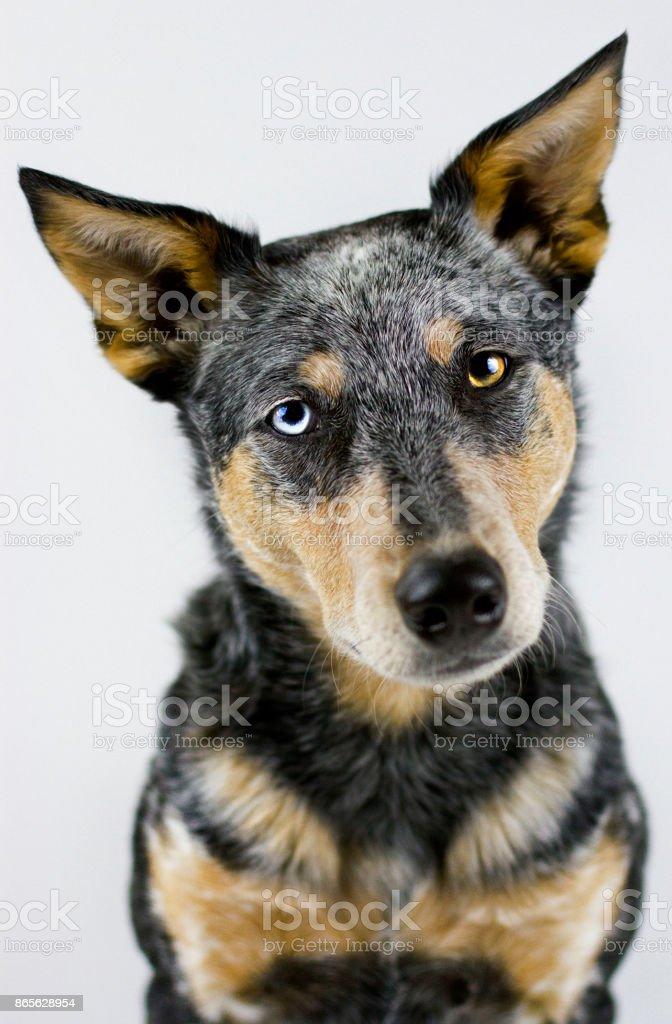 Australian Cattle Dog Mix on white background stock photo