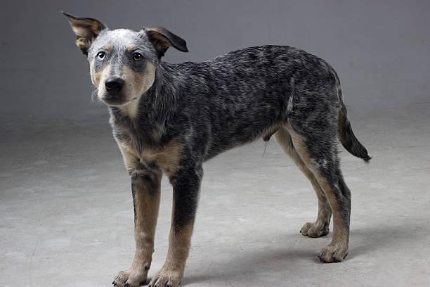 Australian Cattle Dog Mix Puppy on grey background stock photo