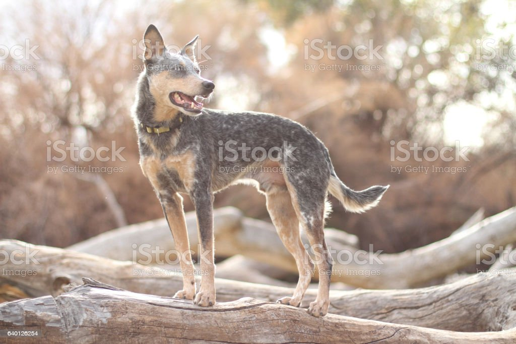 Australian Cattle Dog Mix standing on log outdoors – zdjęcie