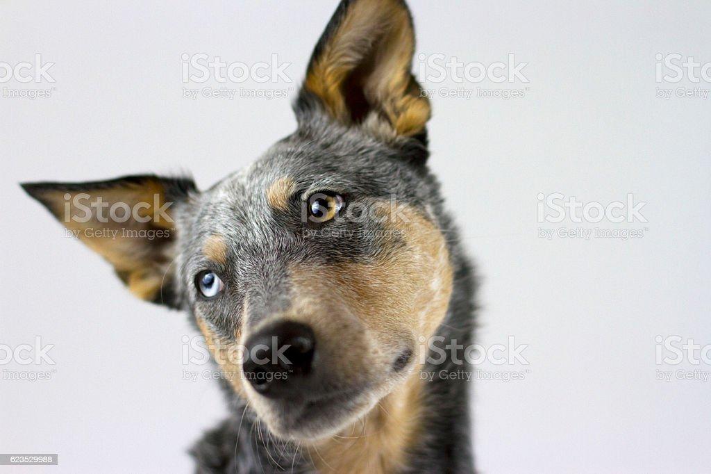 Australian Cattle Dog Mix tilting head headshot – zdjęcie