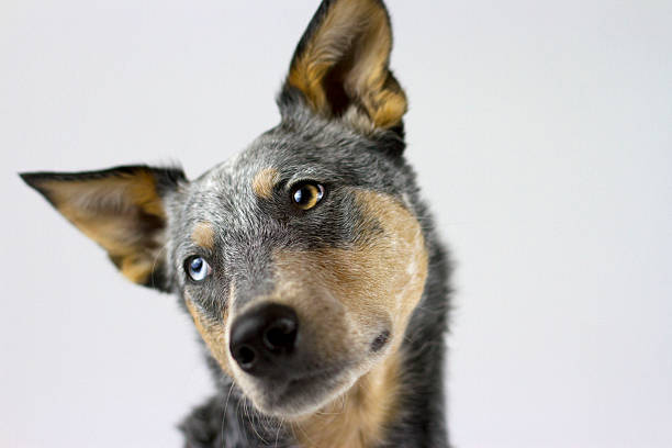 Australian Cattle Dog Mix tilting head headshot stock photo