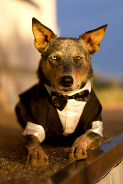 Australian Cattle Dog Mix wearing Tuxedo stock photo