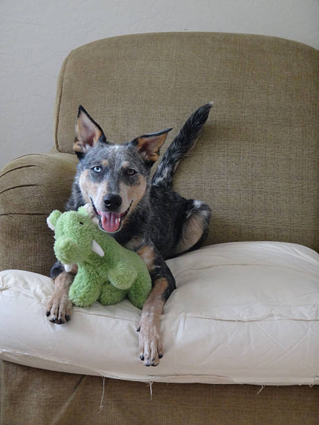 Australian Cattle Dog Mix with mammoth stuffed toy on couch stock photo