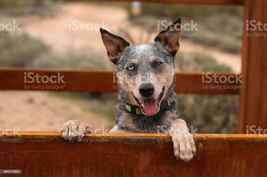 Australian Cattle Dog Mix with paws up natural lighting stock photo
