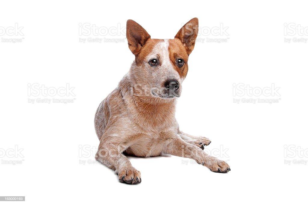 Australian Cattle Dog stock photo