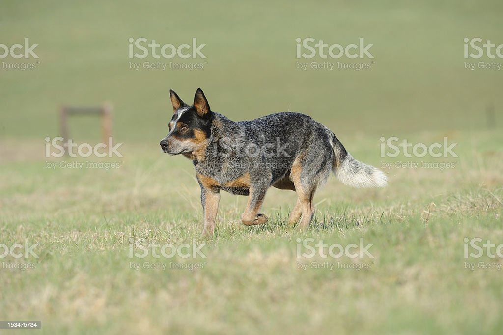 Australijski pies pasterski – zdjęcie