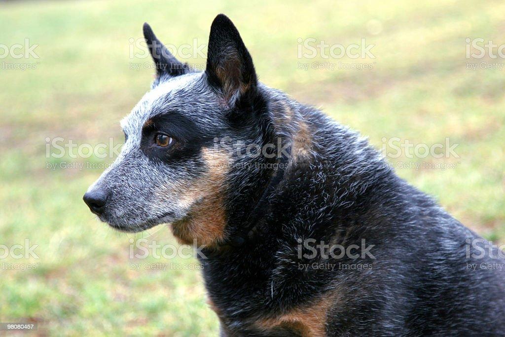 Australian Cattle Dog royalty-free stock photo