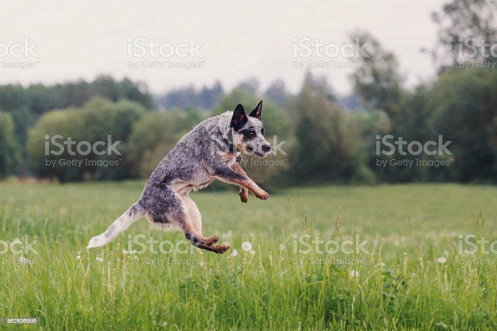 Australian Cattle Dog playing in the grass – zdjęcie