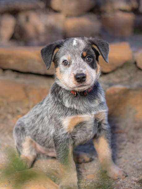 A Australian Cattle Dog (Blue Heeler) puppy full length portrait stock photo