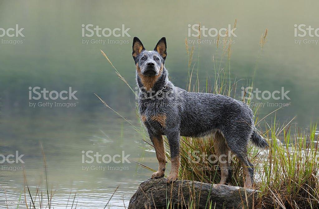 Australijski pies pasterski puppy – zdjęcie