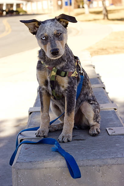 Australian Cattle Dog Puppy with leash sitting on concrete stock photo