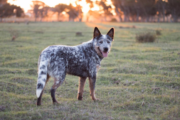 Australian Cattle Dog  (Blue heeler) standing in the field at sunset looking at the camera mouth open stock photo