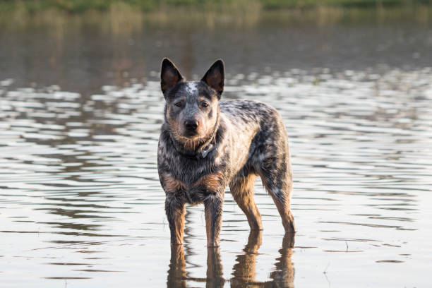 Australian Cattle Dog  (Blue heeler) standing in the water of a dam looking at the camera stock photo