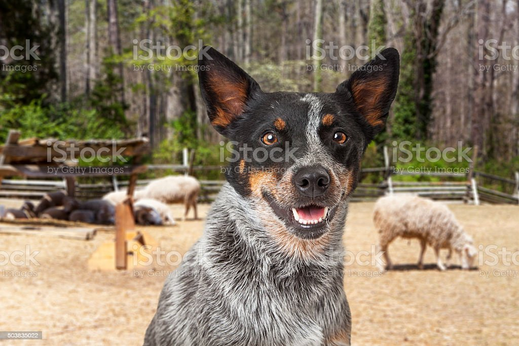 Australian Cattle Dog With Sheep in Background stock photo