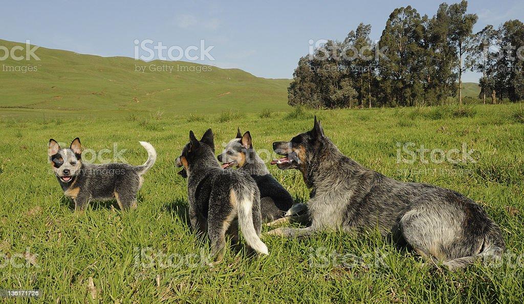 Australian Bydło psów – zdjęcie