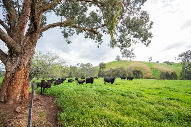 Australische Rinderzucht – Foto