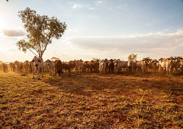 Australian Cattle – Foto