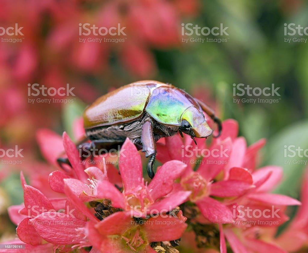 Australian Christmas Beetle.Australian Christmas Beetle On Xmas Bush Stock Photo More