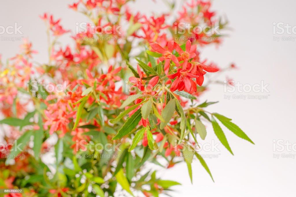 Christmas Bush Tree Australia.Australian Christmas Bush Stock Photo More Pictures Of