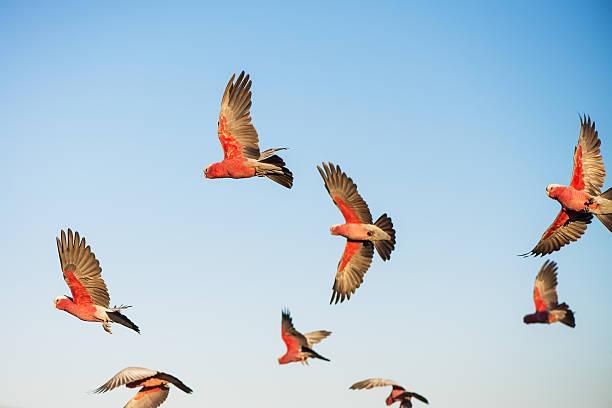 Australian cockatoos take flight picture id465471202?b=1&k=6&m=465471202&s=612x612&w=0&h=qzxjkz6bl5mgwhypge3wgnpwxelvqhu 7prz6zitlgu=