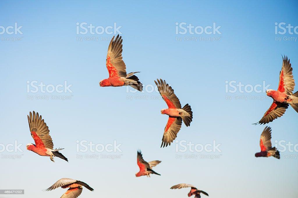 Australian Cockatoos Take Flight stock photo