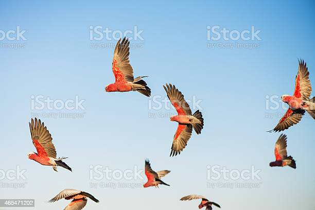 Photo of Australian Cockatoos Take Flight