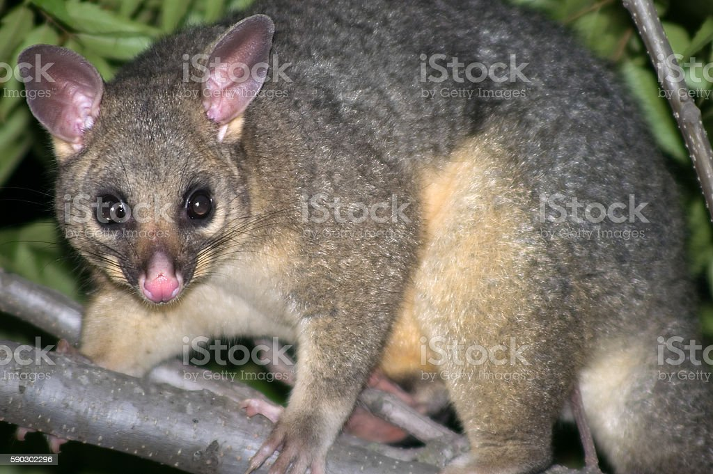 Australian Common Brushtail Possum (Trichosurus Vulpecular) in tree royaltyfri bildbanksbilder