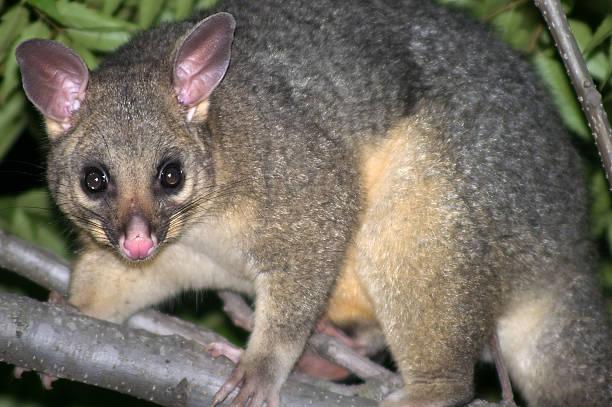 Australian Common Brushtail Possum (Trichosurus Vulpecular) in tree stock photo