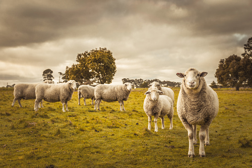 Australian countryside rural autumn landscape. Group of sheep grazing in paddock at farm