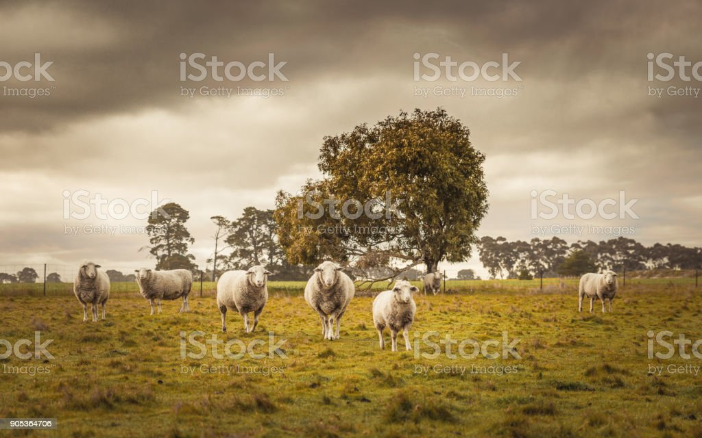 Australian countryside rural autumn landscape. Group of sheep grazing in paddock at farm stock photo