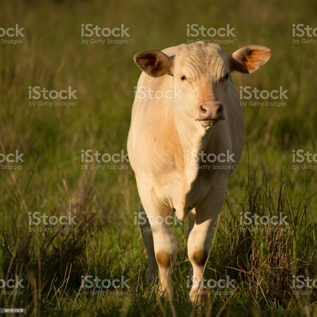 Australian cow stock photo