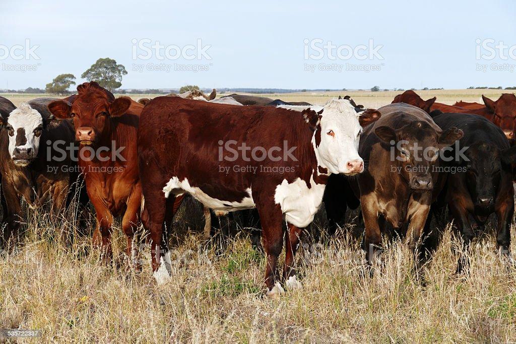 Australian cows stock photo
