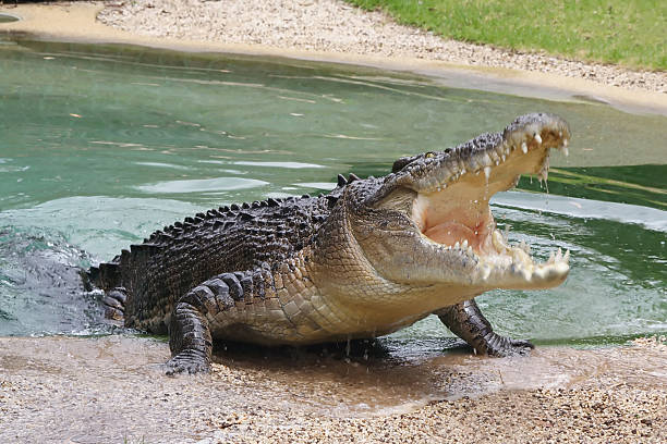 Crocodile avec Open d'Australie - Photo