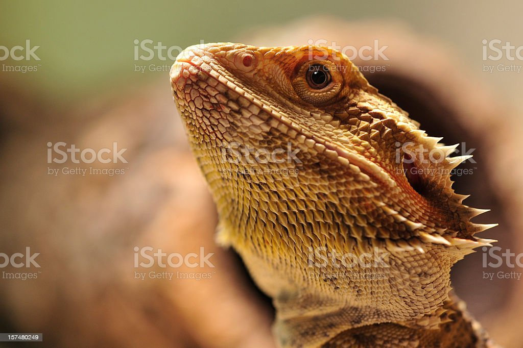 australian desert lizard stock photo