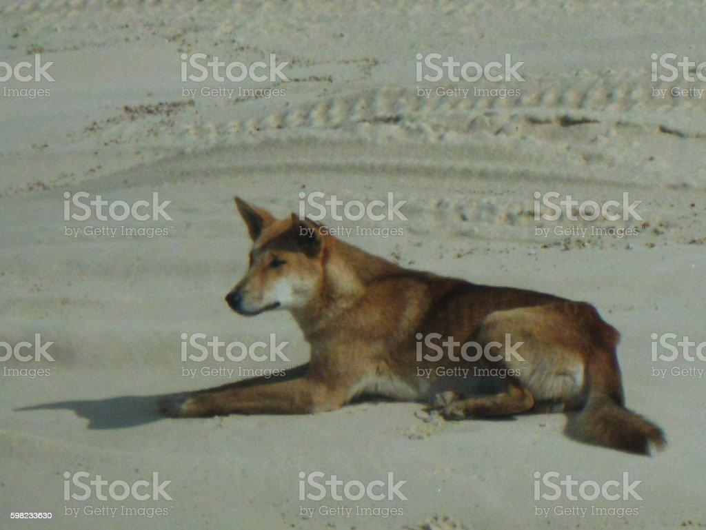 Australian dingo on Fraser Island foto royalty-free