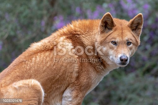 Australian dingo sitting on rock frowning and watchful